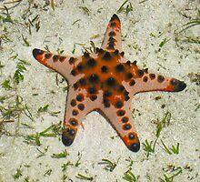 Orange starfish, Mabul Island, Phillipines by JCMM