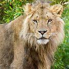 530 lion king by pcfyi