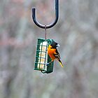 Male Oriole by Penny Rinker