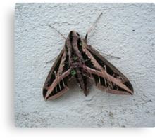 Sphinx Moth After Rain Canvas Print