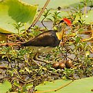 Daddy Jacana by Penny Smith