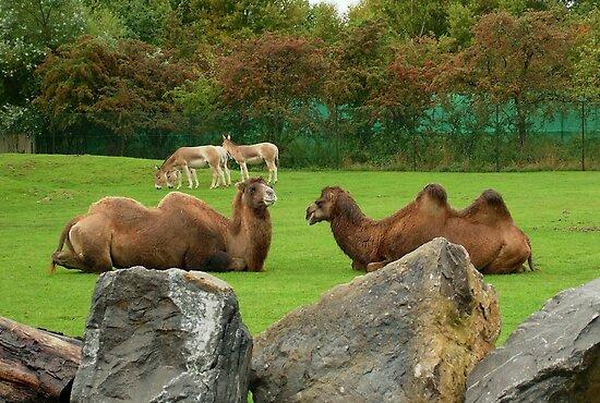 Camel Talk !! by AnnDixon
