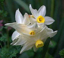 White Daffadills by ndarby1