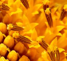 MACRO OF A SUNFLOWER by Sandra  Aguirre