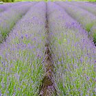 Lavender fields in Belgium by 7horses
