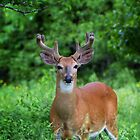 Spring Buck by Jim Cumming