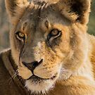 530 lioness by pcfyi