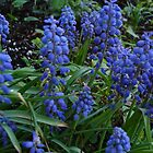 Hyacinth Bunch by charmedy