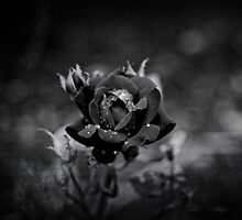 Black Rose by MaryTimman