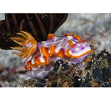 Fishnet Hypselodoris Photographic Print