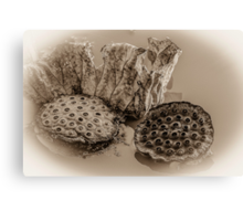 Floating Lotus Seed Pods  Canvas Print