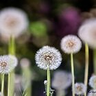Dandelion Riot by KatMagic Photography