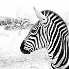 Zebra Close-up by Dyle Warren