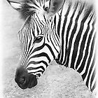 Zebra Stripes by Dyle Warren