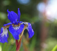 Iris With Lens Flare by Linda  Makiej Photography