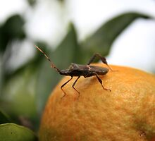 Leaf Footed Bug Standing on an Orange by rhamm