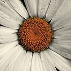 Selective Daisy by Sue Morgan