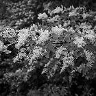 Vintage Lilac by Susan Nixon