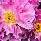 Two Pink Peonies by Jessica Manelis