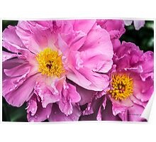 Two Pink Peonies Poster