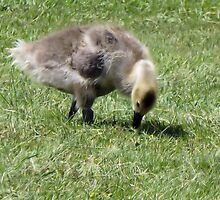 Gosling in Grass by Francis LaLonde