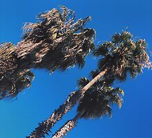 Palm trees by Santamariaa