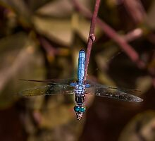 Dragon Fly by browncardinal8
