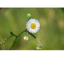 Daisy flower on green grass Photographic Print