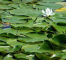 Water Lilies by michel bazinet