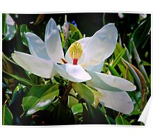 Magnolia In Full Bloom Poster