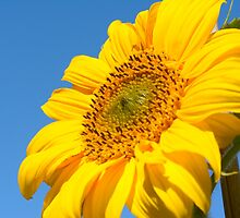 Sunflower by wraysburyade