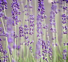 Lavender by awanderingsoul
