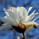 White Magnolia by AnnDixon