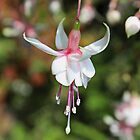 Pale Pink & White Fuchsia by AnnDixon