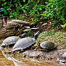 Mother Duck and Father Duck and Baby (TURTLES?????) by imagetj
