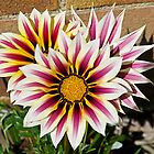 Gazania by John (Mike)  Dobson