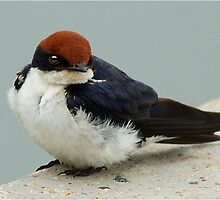 WIRE TAILED SWALLOW – Hirundo smithii - DRAADSTERT SWAEL by Magaret Meintjes