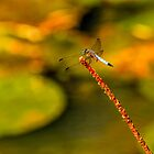 Dragonfly by LudaNayvelt
