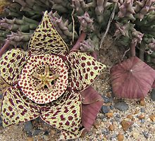 Orbea variegata - the carrion flower by Lee Jones