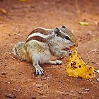 Indian squirrel eating a piece of chapati by Anna Alferova