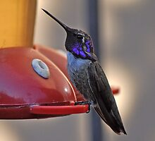 MALE COSTA'S HUMMINGBIRD ON FEEDER by JAYMILO