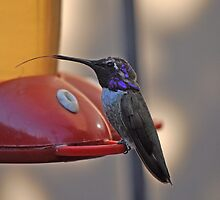 A MALE COSTA'S HUMMINGBIRD ON THE FEEDER WITH TONGUE OUT by JAYMILO