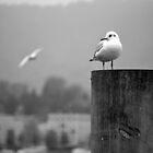 Gull Gazing, Lake Zurich by Tiffany Dryburgh