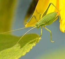 Speckled Bush Cricket by relayer51