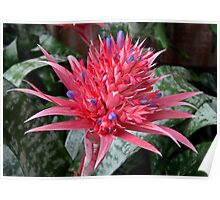 Aechmea fasciata - Urn Plant - Bromeliad Poster