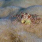 Pom-pom Crab by Mark Rosenstein