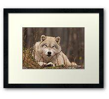 A resting Arctic Wolf - Montobello, QC Framed Print