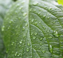 rain drops on dogwood green leaf. nature photography. refreshing! by naturematters