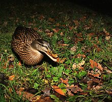Female mallard with autumn leaves by turniptowers