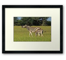 Zebra - Funny Nature - African Wildlife Background  Framed Print
